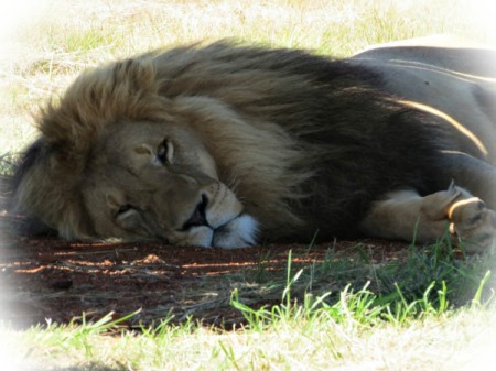 Lion lying in the shade.
