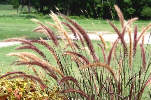 Growing ornamental grasses thriftyfun for Ornamental grasses for small spaces