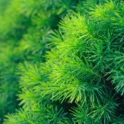 Growing Dwarf Conifers