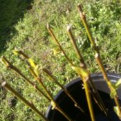 Willow cuttings in a container.