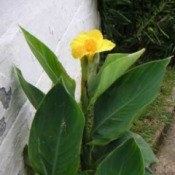 Growing Cannas
