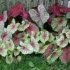 Growing Caladium