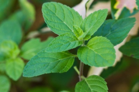 Plants That Repel Insects: Spearmint Plant