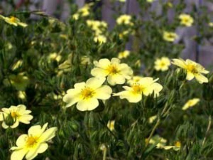 Growing Cinquefoil (Bush)