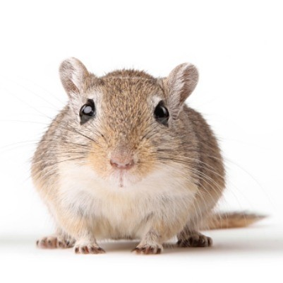 Caring for Gerbils