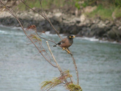Mynah Bird in Maui