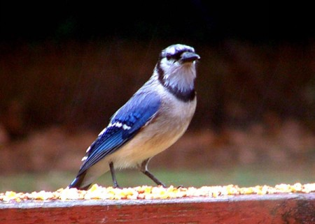 Blue jay on railing.