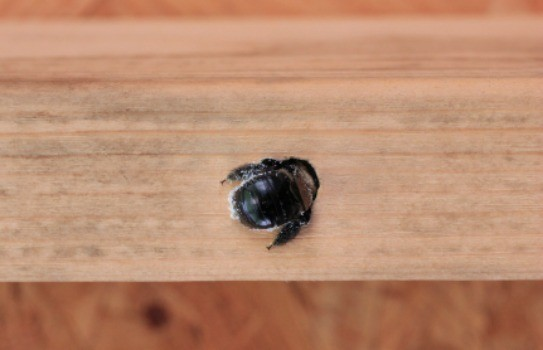 Carpenter bee drilling into wood.
