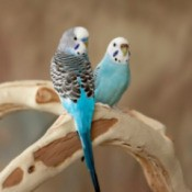 Parakeets sitting on a wood perch.