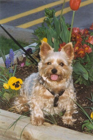 Toby (Yorkshire Terrier)