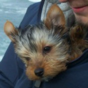 Shadow (Yorkshire Terrier)