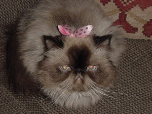 Himalayan Cat with bow