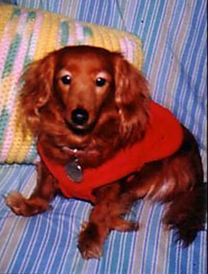 Ginger (Long Haired Dachsund)