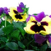Yellow and purple pansies.