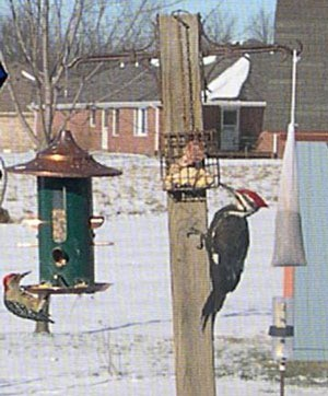 Woodpecker at feeder.