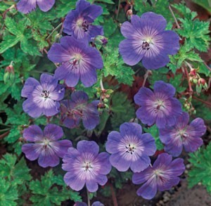 striking blue geranium