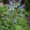 Flowering borage in the garden.
