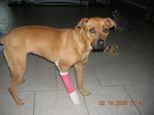 Brown dog with pink cast on front right leg.