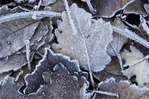 Leaves covered in frost.
