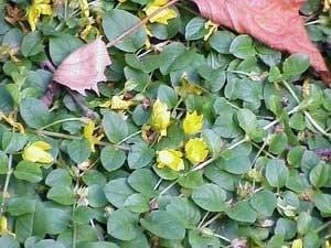Creeping Jenny with yellow flowers.