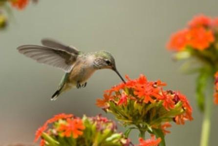 Attracting Hummingbirds Thriftyfun