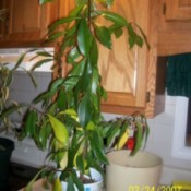 Tall houseplant with medium green leaves.