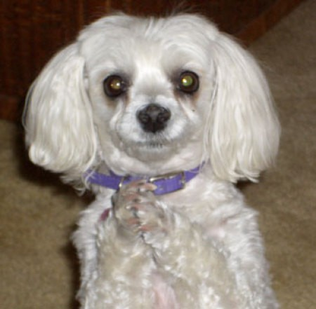 Cookie (Maltese)