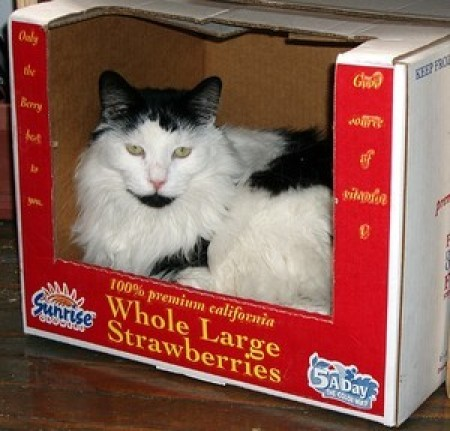 black and white cat in box