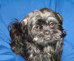 Dark Colored Shih Tzu