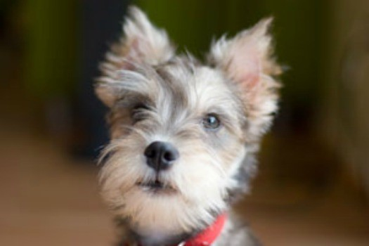 Miniature Schnauzer Dog Food Recipes
