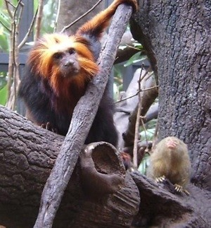 golden headed monkey