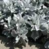 Dusty Miller plants.