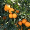 Close up of ripe oranges on orange tree