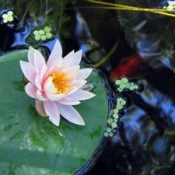 Water lily in pond with fish below.