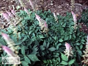 Close up of Astilbe Plant