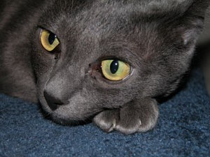 closeup of gray cat with yellow eyes