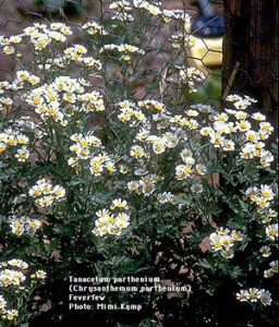 Feverfew flowers growing near a fence.