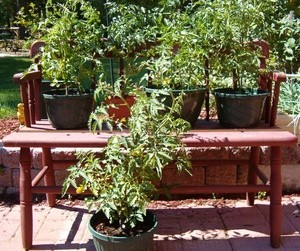 Potted tomatoes sitting on old garden bench.