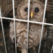 young owl in cage