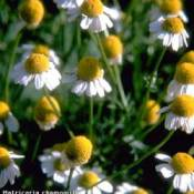 Growing: Chamomile