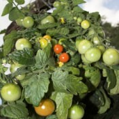 Tomatoes in Hanging Basket
