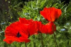 Closeup of red poppies.