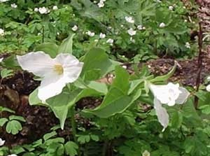 Growing: Snow Trillium (Wake-Robin)