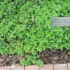 Growing: Marjoram
