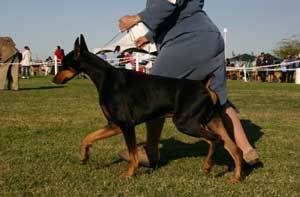Black and tan Doberman on leash at show.