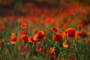 Field of orange poppies.