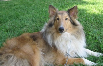 Killian (Shetland Sheepdog)