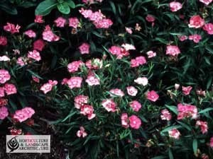 Pink dianthus flowers.