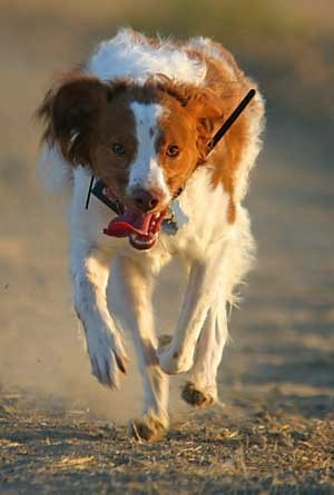 Dog running on a lead.
