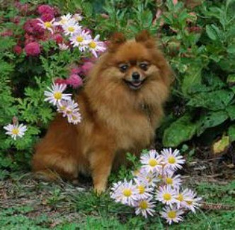 Red Pomeranian sitting in a garden bed